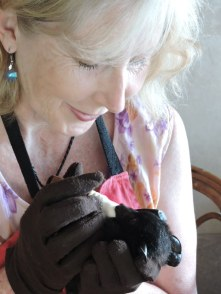Feeding a Black Flying-fox