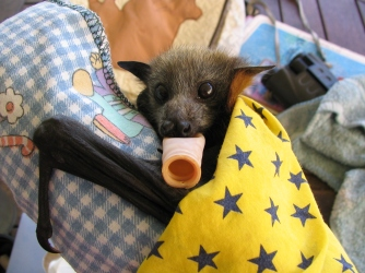 Grey-headed Flying-fox sucking his dummy
