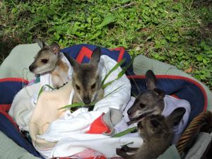Redneck Joeys in care September 2015
