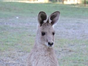 Elijah an Eastern Grey Kangaroo