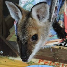 Redneck Wallaby in care